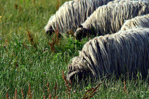 Sheep, Flock Of Sheep, Flock, Meadow, Pasture, Animals