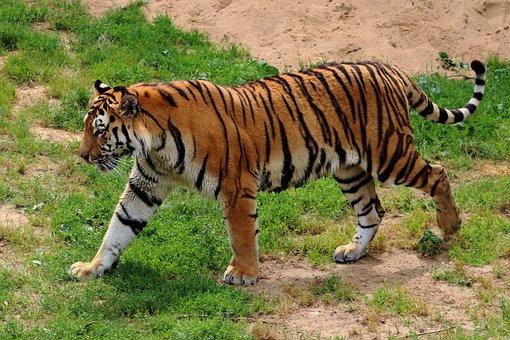Tiger, Siberian Tiger, Zoo, Predator, Cat, Carnivores