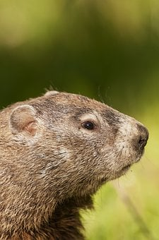 Woodchuck, Mammal, A, Groundhog, Wildlife, Whistlepig