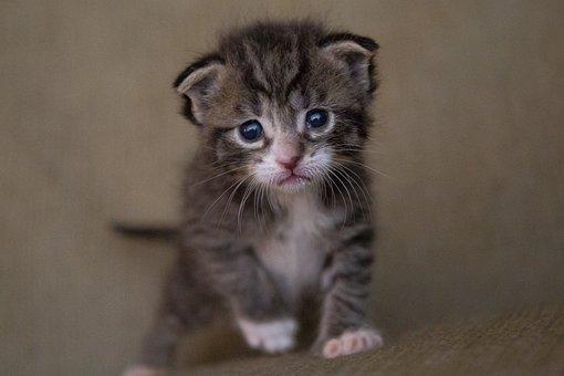 Kitten, Cat, Baby, Cute, Animal, Kitty, Feline, Fur