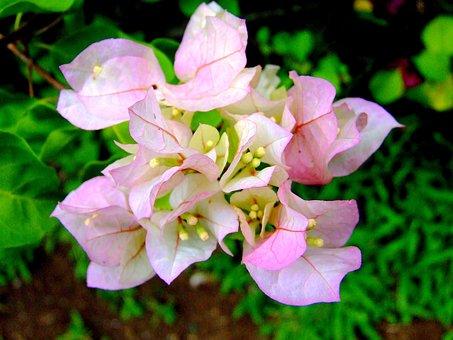 Bougainvillea, Bicolor, Pink, White, Flowers, Plants