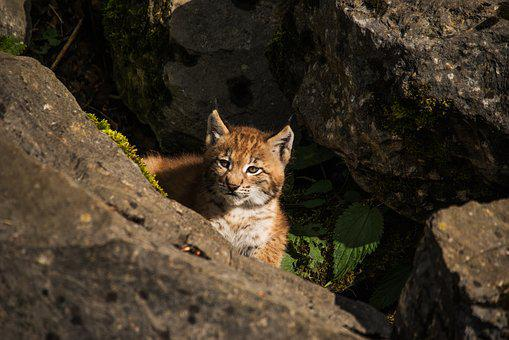 Young Lynx, Lynx, Baby, Big Cat, Nature, Sweet, Cat