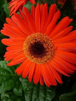 Gerbera, Reddish-orange, Blossom, Bloom, Potted Plant