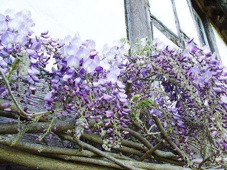 Wisteria, Purple, Spring, Flower, Colorful, Garden