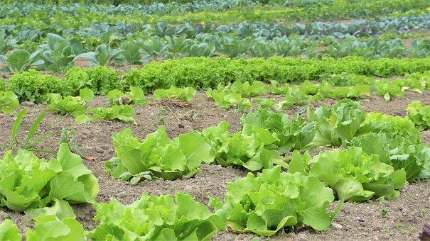 Salad, Herbs, Vegetables, Cultivation