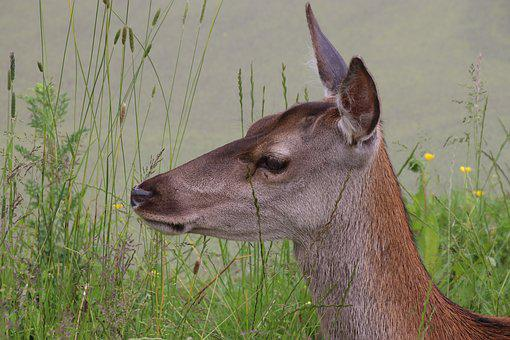 Roe Deer, Deer, Wildlife, Nature, Roe, Animal, Wild