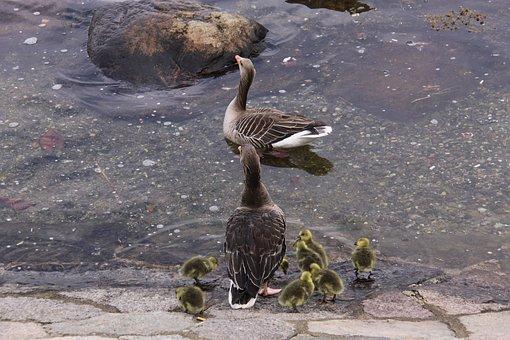 Geese, Gosling's, Family, Birds, Animals, Harbour