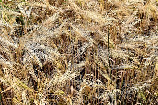 Barley, Cereals, Arable, Barley Field, Ear, Field