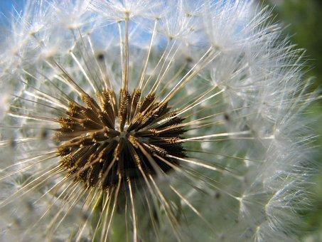 Flower, Dandelion, Nature, Plants, Spring, Chmíří