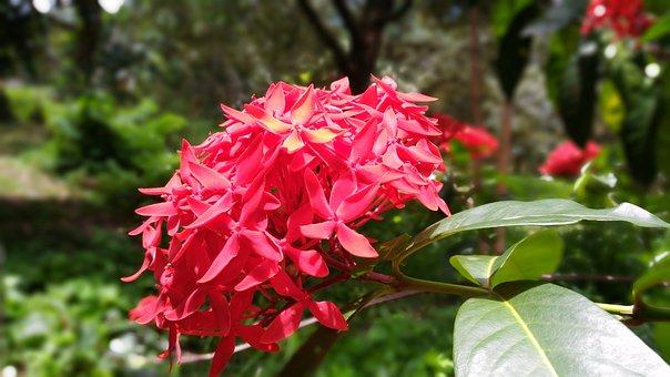 Flower Pin, Flower, Red Flowers, West Indian Jasmine