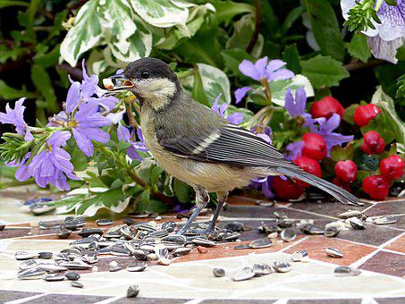Bird, Tit, Parus Major, Young, Foraging, Garden