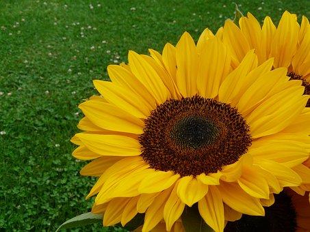 Sunflower, Yellow, Summer, July, Garden, Flowers, Joy