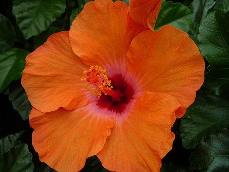 Hibiscus, Magnificent, Orange Blossom, Tropical
