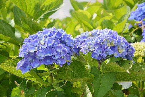 Hydrangea, Pretty Flowers Round, Blue, Green Foliage