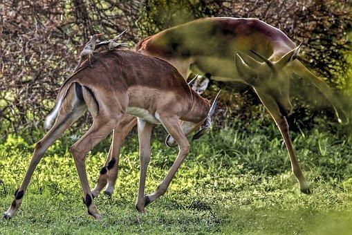 Impala, Wild, Animal, Pair, Fighting, Nature, Africa