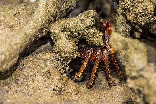 Crab, Mangue, Brachyura