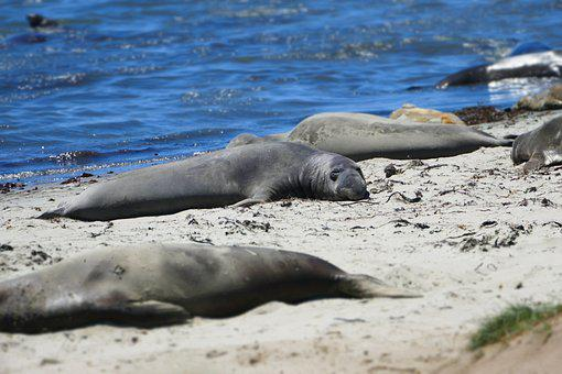 Wildlife, Ocean, Seal, Elephant, Animal, Nature, Marine