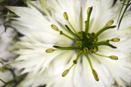 Virgin In The Green, Nigella, Flower, Nigella Damascena