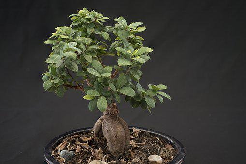 Bonsai, Smaller Tree, Potted Plant, Green, Japan