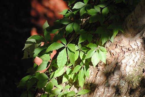Ivy, Trees, Leaves, Green, Leaf, Nature, Organic, Light