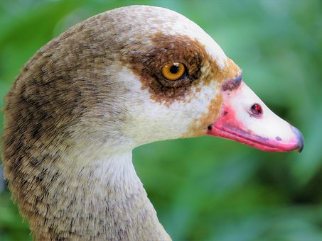 Water Fowl, Close Up, Wildlife, Nature, Colorful