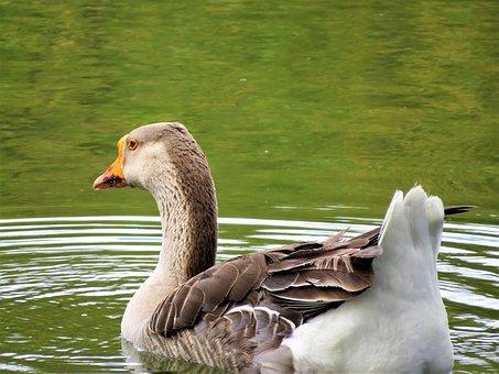 Water Fowl, Brown, White, Water, Wild