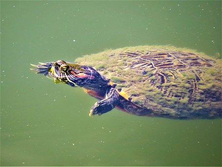 Turtle, Water, Bright Colors, Wildlife