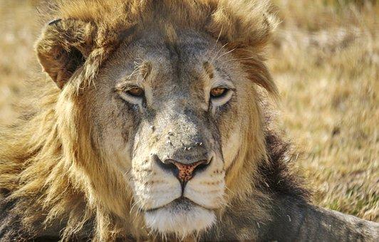 Lion, Male, Africa, South, Wildlife, Animal, Wild, Cat