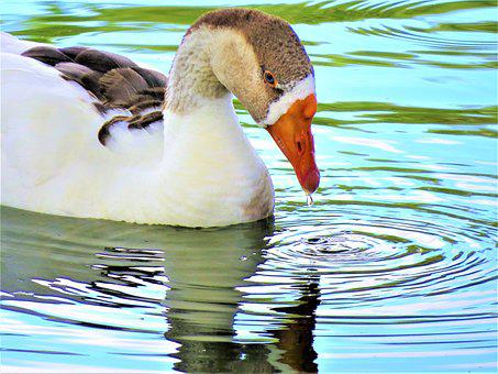 Water Fowl, Colorful, Wild, Close Up