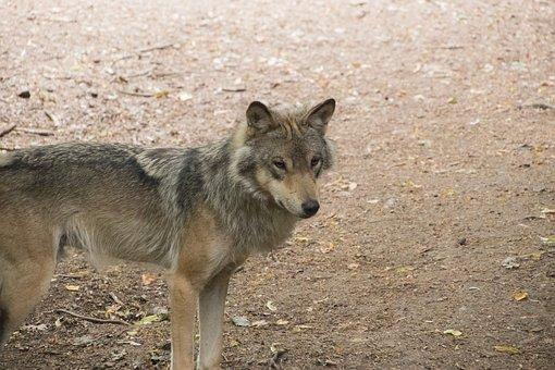 Timberwolf, Wolf, Animal, Predator, Wild, Gray, Canine