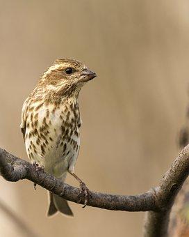Female, Purple Finch, Avian, Animal, Wildlife, Bird
