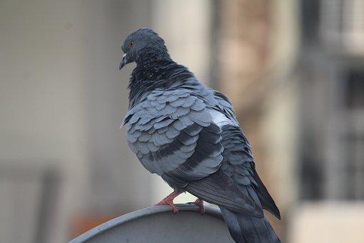 Pigeon, Warming Up, Bird, Domestic Pigeon