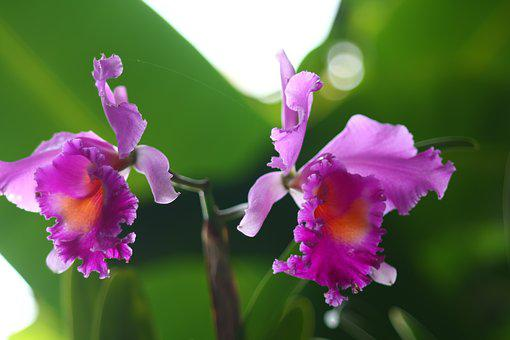 Flowers, Cattleya, Purple
