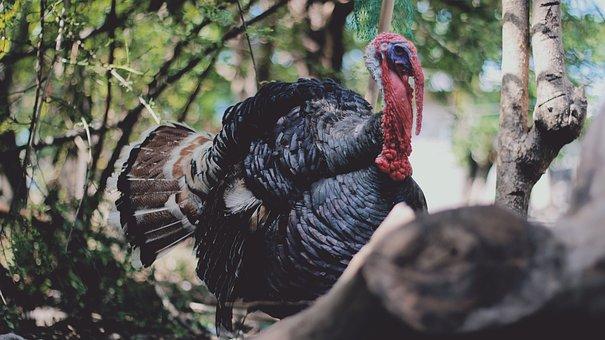 Turkey, Bird, Wildlife, Animal, November, Celebration