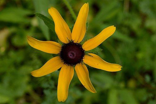 Flower, Yellow, Black-eyed Susan, Yellow Flowers