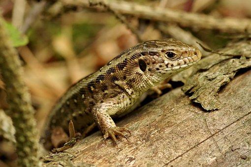 The Lizard, Gad, Sand Lizard, Green, Animal, Forest
