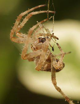 Garden Spider, Crowned Orb Weaver, Cross Spider