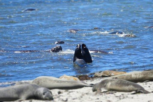 Seal, Elephant, California, Ocean, Mammal, Wildlife