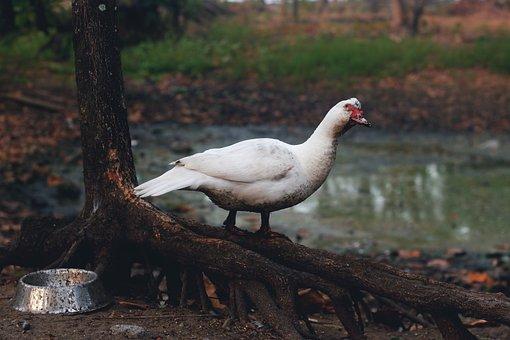 Duck, Swan, Lake, Bird, Nature, Wildlife, Tree, Grass