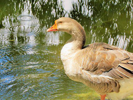 Water Fowl, Colorful, Wildlife, Water, Nature