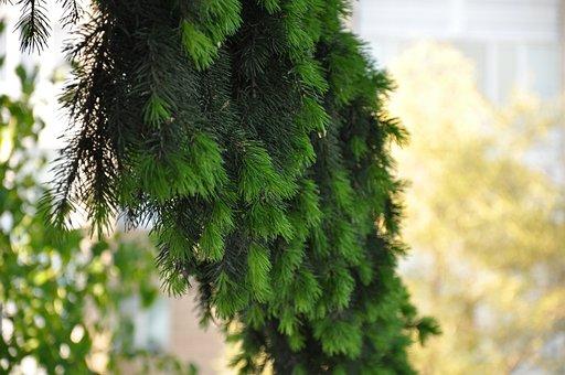 Spruce, Branch, Needles, Fir Branch, Foliage, Tree