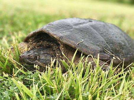Turtle In Grass, Turtle, Snapping Turtle