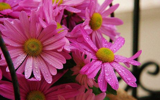 Flowers, Pink, Dew Drops, Summer, Spring, Water, Petals