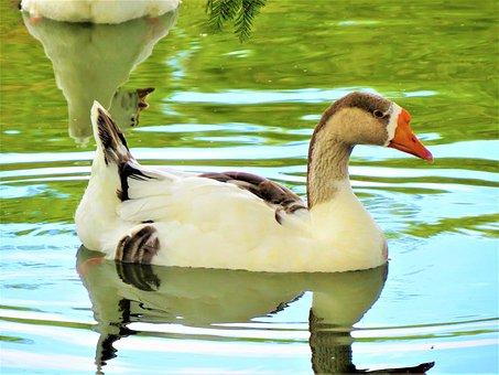 Water Fowl, Water, Wild, Nature