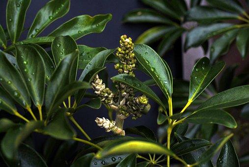 šeflera, Flower Underdeveloped, Optus Tree, Green