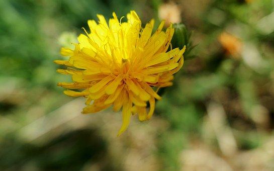 Dandelion, Yellow, Flower, Blossom, Bloom, Plant