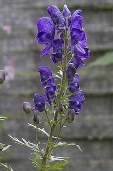 Monkshood, Blue, Dark Purple, Purple, Aconitum Napellus