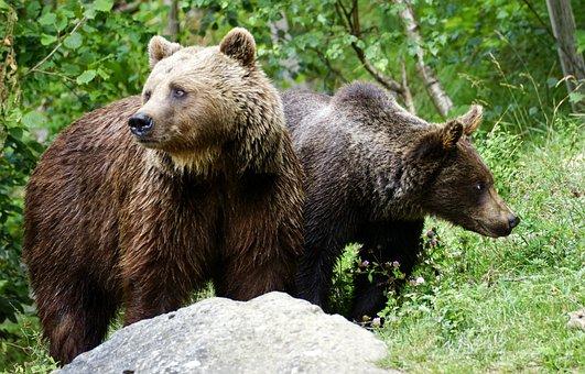 Bear, Brown Bears, Animals, Nature, Forest, Fur