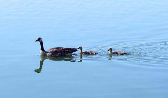 Canada Goose, Canada Geese, Goslings, Waterfowl, Animal