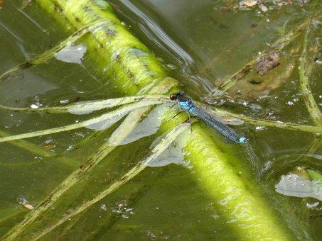Damsel Fly, Water, Weeds, Fishing Pool